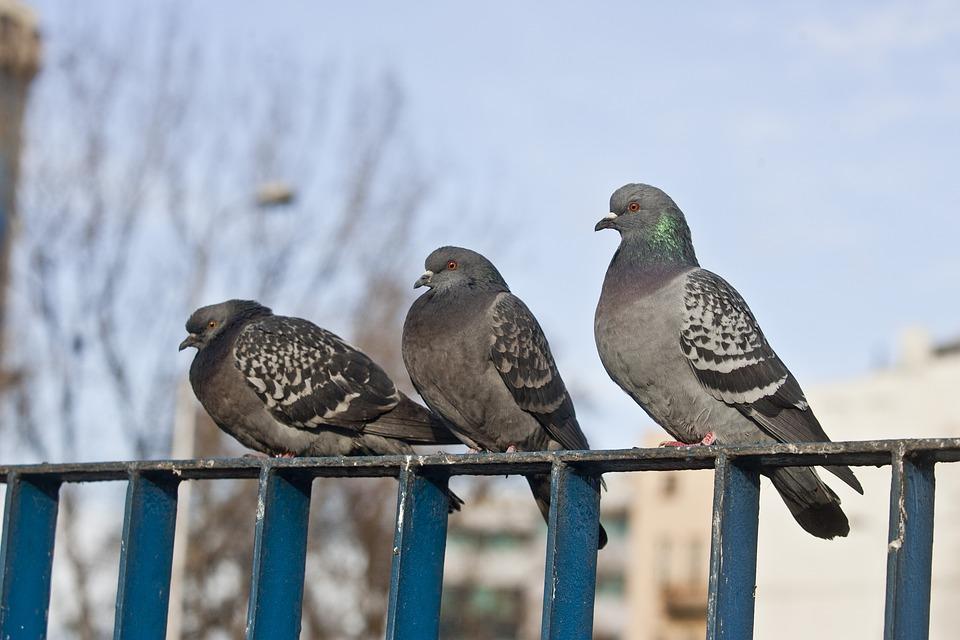 Pigeons sur un balcon