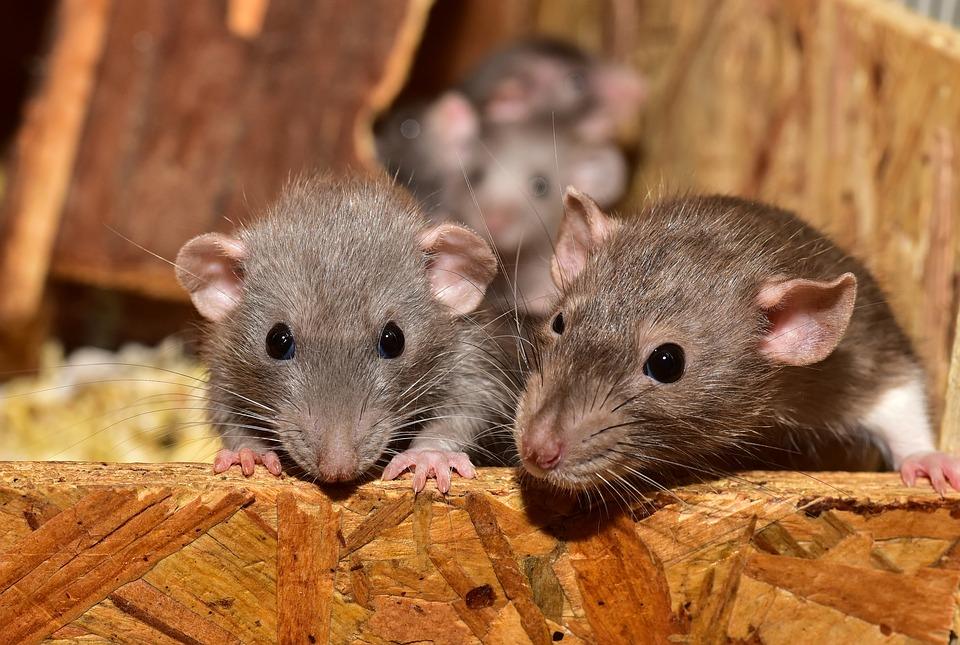 Rats dans le grenier